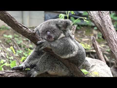 Cuddling Up To Koalas At Kuranda Koala Gardens, Cairns