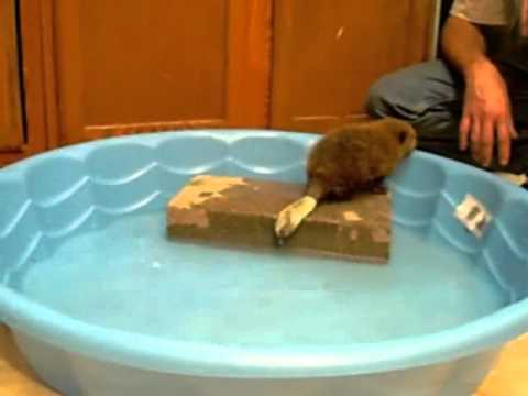 Baby beavers get a second chance