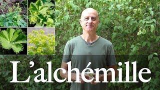 Alchémille (Alchemilla vulgaris) : astringente, règles abondantes et douloureuses