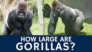 how big are gorillas and are silverbacks the largest primates?