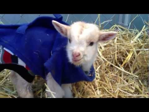 2 day old baby goat talking