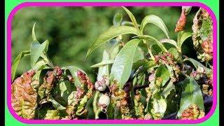 #Персик. Защита персиков от болезней.Курчавость.