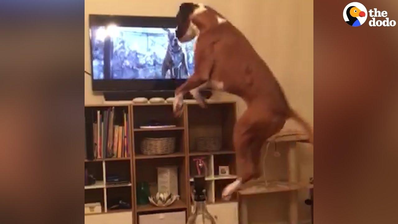 Dog Imitates The Dog On TV