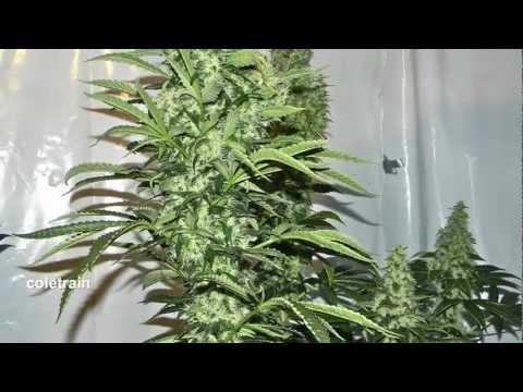 legalize it - Dr Sativa.