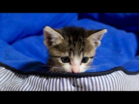 チワワベッドを占拠する子猫 - Kitten takes chihuahuas bed -
