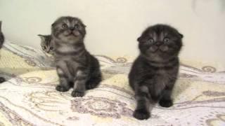 шотландские котята.