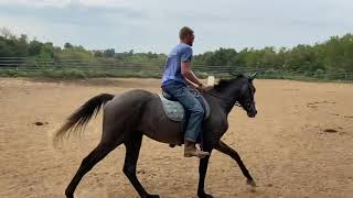 Tally Ho Irish Storm by Cappa Irish Charmer - 60 days under saddle