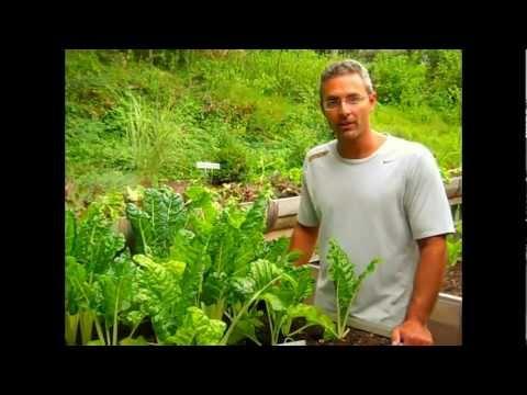 Growing Organic Chard