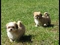 Lhasa Apso, Puppies, Dogs, For Sale, In Charlotte, North Carolina, NC, Greensboro, Lexington, Cary
