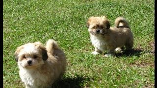 Lhasa Apso, Puppies, For, Sale, In, Raleigh, North Carolina, Nc, Lumberton, Kernersville, Mint Hill,