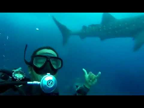 whale shark cruising by