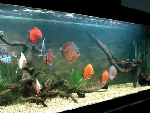 Pecera 3mts con peces disco youtube for Modelos de estanques para peces