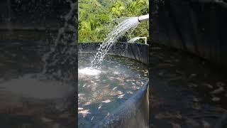 Cultivo intensivo de tilapia o mojarra en estanques de geomenb…