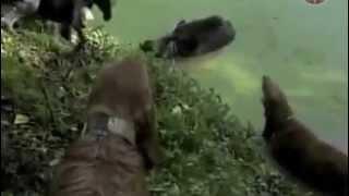 Копия видео Охота на кабана-Загнанный собаками!