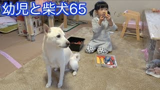 前回 https://youtu.be/SFLcqY4Ai60 他の「幼児と柴犬」https://www.you...