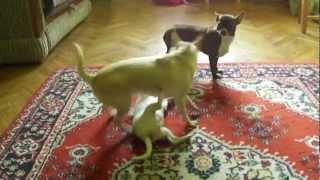 Продажа собак чихуахуа здесь:www.chihuahua-moscow.ru