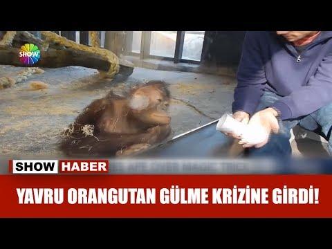 Yavru orangutan gülme krizine girdi!