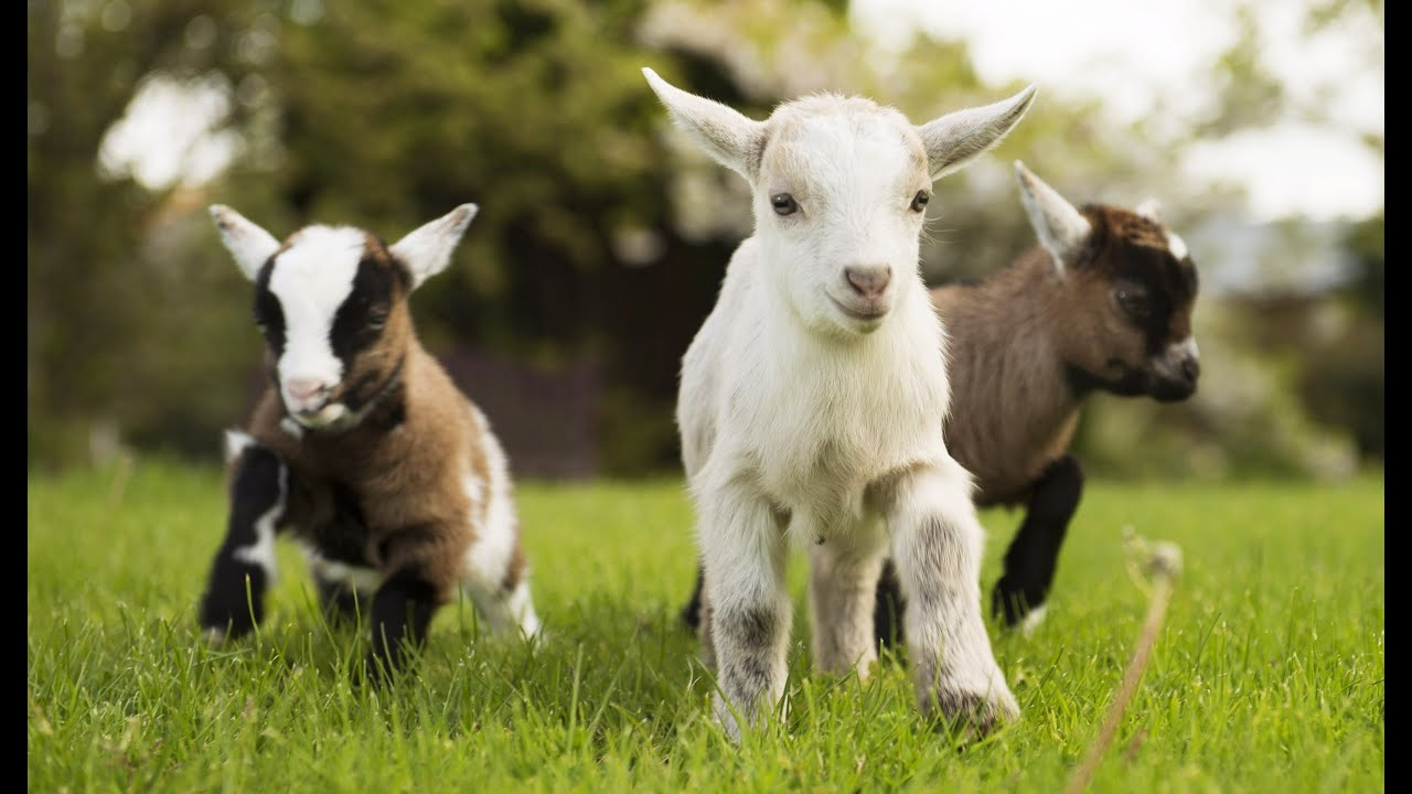 Funniest Baby Goat Videos Compilation New Hd Youtube