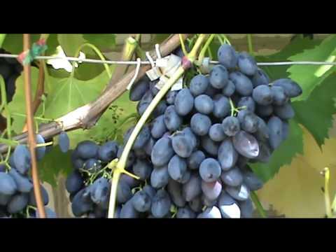 Виноград  Блэк Гранд - сверхурожайный и морозостойкий (Grapes Black Grand)