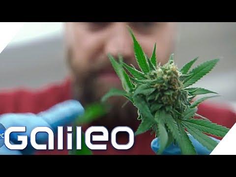 Ist Cannabis ernten legal? | Galileo | ProSieben