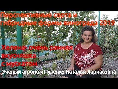 Виноград с мускатом - Хелена, участок Пузенко Натальи Лариасовны