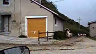 vaches montbéliardes : maman dépêche toi !!!