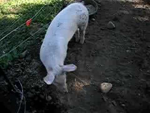 Pig roundup