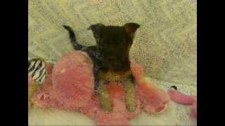 Lab & Shepherd Mix Puppies For Sale | Pets For Adoption Nj, Ny, Nh, Dc, Ri