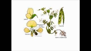 Ботаника. Цветковые. Двудольные