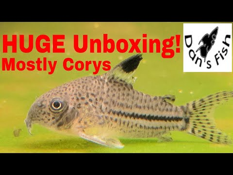 HUGE Corydoras Unboxing!!!