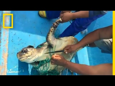 Sea Turtle Rescued From Abandoned 'Ghost Net' Snare | National Geographic