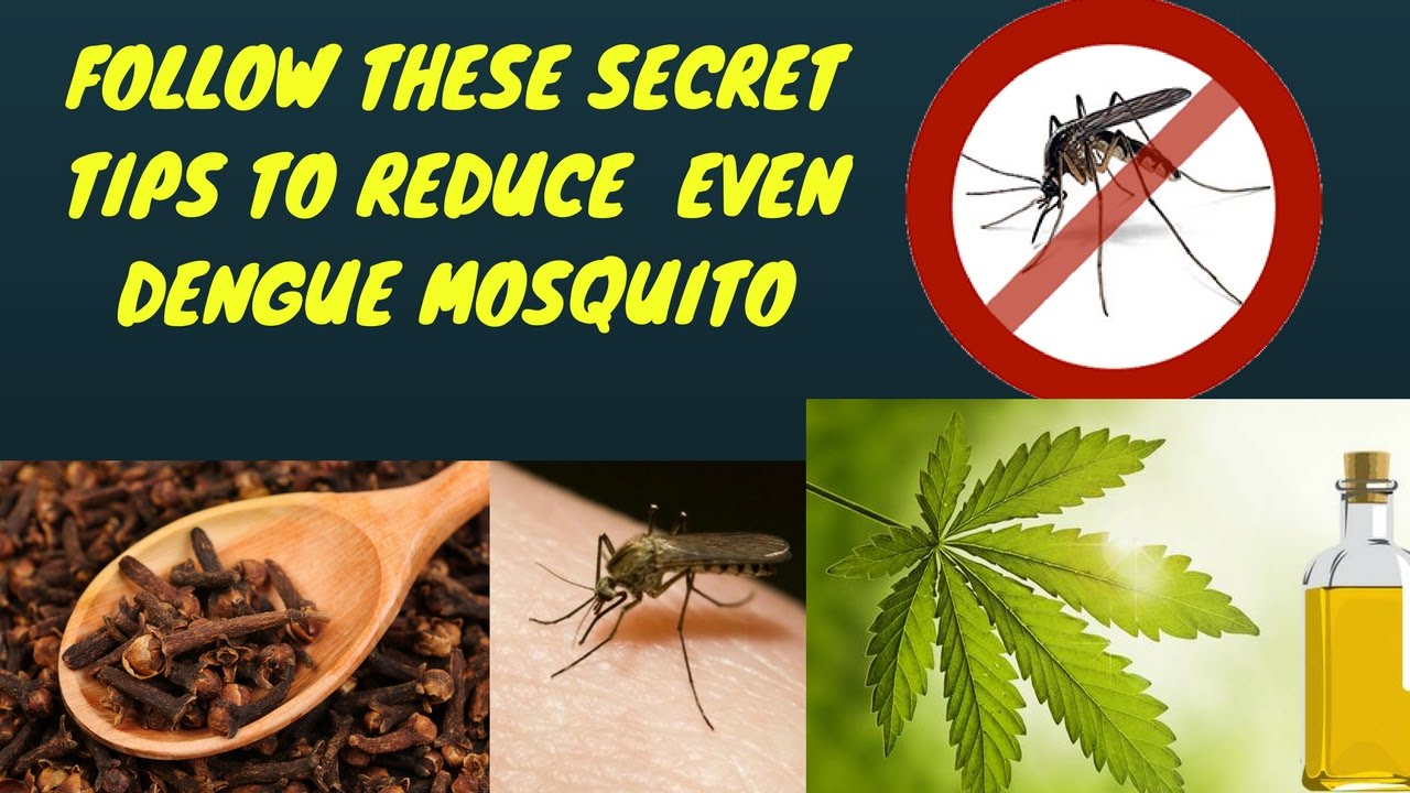 Amazing Tips To Get Rid Of Dengue Mosquitoes Natural Mosquito Repellents Remes You