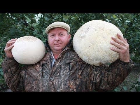 Чудо гриб дождевик. Ложнодождевик (Scleroderma aurantiacum)