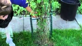 Clematis Vine Added To Arbor Using Invisible Trellis Kit