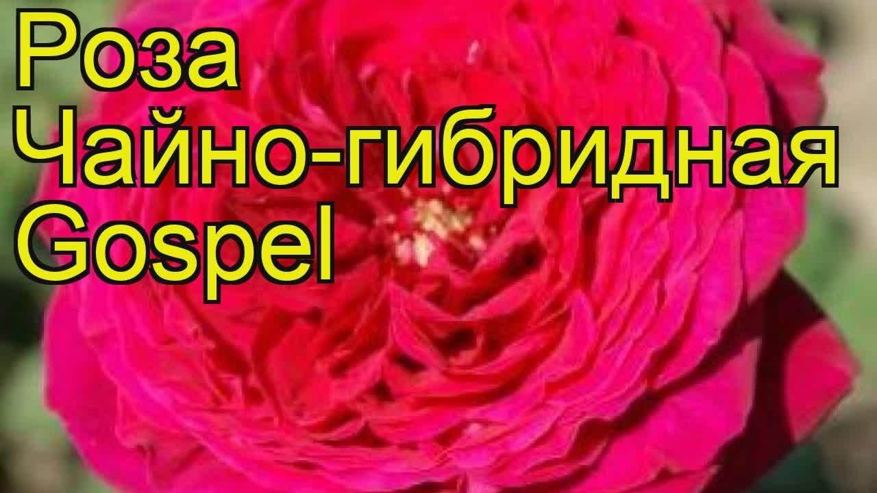 Роза чайно-гибридная Ред Наоми. Краткий обзор, описание .