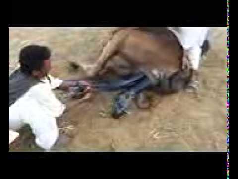 Best Anemals langah khan(18)