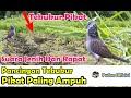 Suara Tekukur Jantan Pikat Memanggil Lawan Paling Ampuh Dan Jernih Pikat Burung Tekukur  Mp3 - Mp4 Download