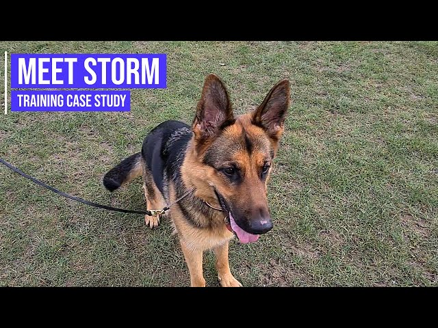 Overcoming a German Shepherd's aggression towards other dogs