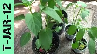 Growing Serrano and Jalapeno Peppers in Containers