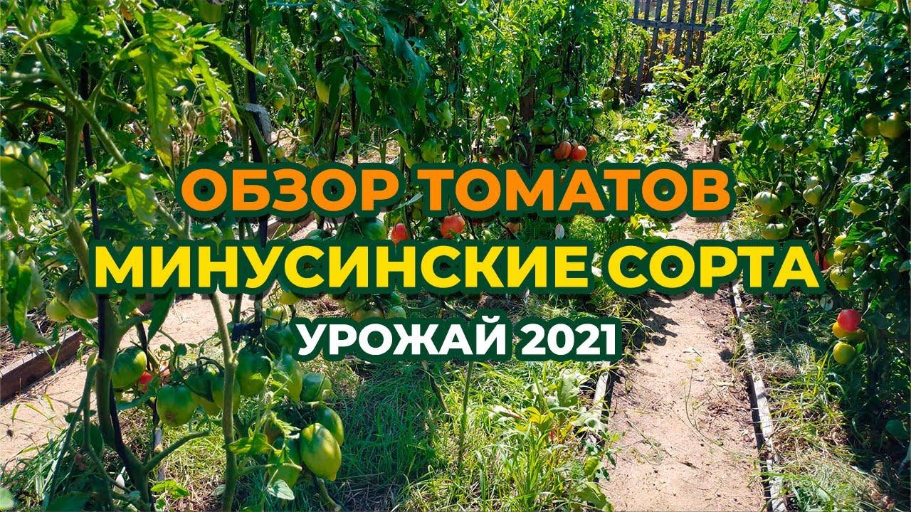 Обзор томатов Минусинские! Сезон 2021