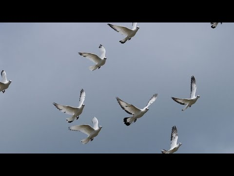 High flying pigeons