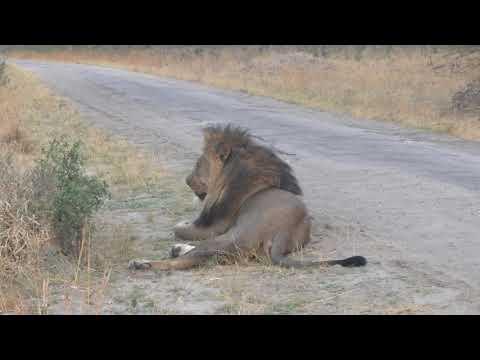 14102014 Hwange NP Lion sitting on the roadside