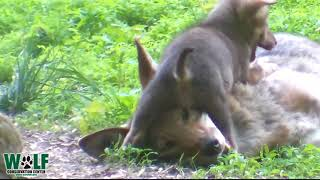 Red Wolf Mom Gets No Peace With Frisky Pups