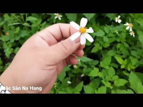 Hoa xuyến chi, loài hoa dại điều trị đau mắt đỏ, viêm thận, viêm đường ruột…