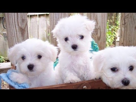 Maltese Puppies For Sale Or Adoption Youtube