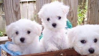Maltese Puppies for Sale in San Antonio Tx - BuyerPricer.com