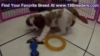 Cavalier King Charles Spaniel, Puppies, For, Sale, In, Louisville,county, Kentucky, Ky,  Richmond, F