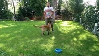 Indirect Reward, Feeding Routine With 6 Month Old Belgian Malinois, Dog Training