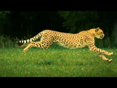 Człowiek Vs Gepard Youtube