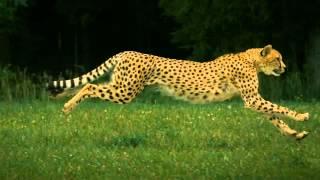 Człowiek vs Gepard